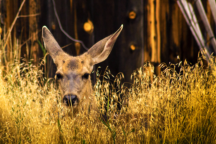 Mule deer resting in tall grasses with forest backgroun