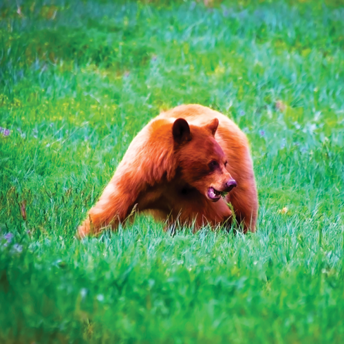 brown bear in an open grassy field