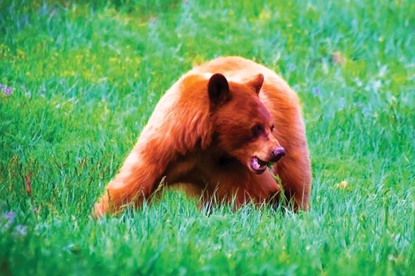 brown bear in an open grassy field